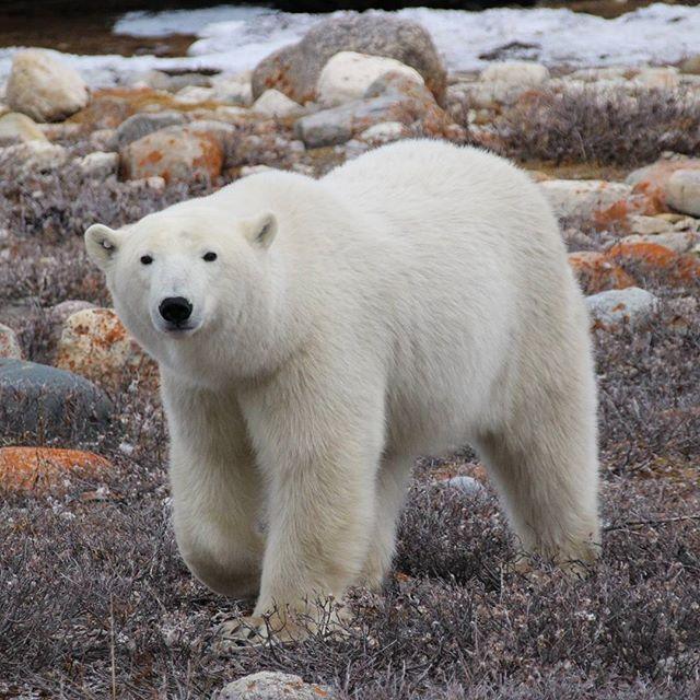 Polar bear in Churchill. #polarbears #polarbear #churchill #manitoba #canada #polarbearsinternational #polarbearsnorth #wildlife #wildandfree #bear #nature #naturelovers #arctis #savethepolarbears #natgeo #nationalgeographic #frontiersnorth #fnapicoftheday #beautiful #iaminlove #tbt #trowback