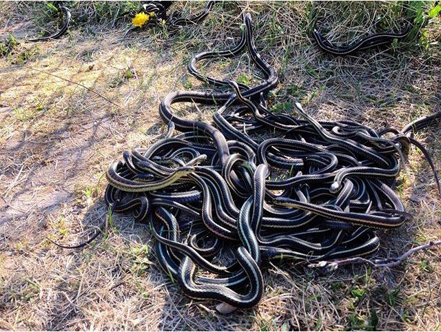 Yup... Hundreds of snakes!!! Mating balls of garter snakes all over the place up in Narcisse Manitoba. #snakes #exploremb #manitoba #crazy #mates #explorecanada #nature #thegreatoutdoors #tourcanada