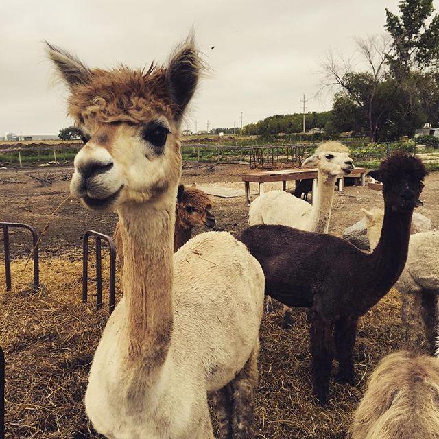 I love their cute faces! #aurorafarm #alpacas #exploremb #farm #winnipeg #alpaca